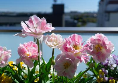 ベランダで咲く八重咲きのチューリップ