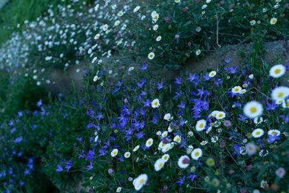 土手に咲く青い花と白い花