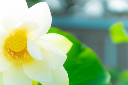 ハスの白い花びらと黄色い花茎のコントラスト