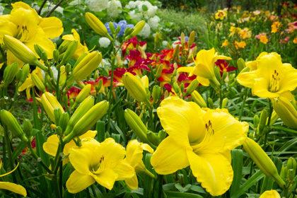 咲き誇る黄色いユリの群生