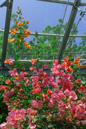 温室グリーンハウス内で満開に咲くブーゲンビリア