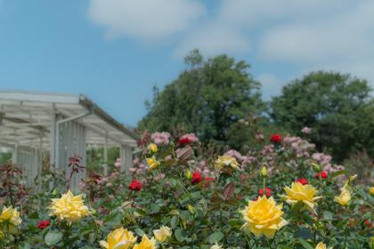 バラ園で咲く黄色、赤、紫など色とりどりのバラ