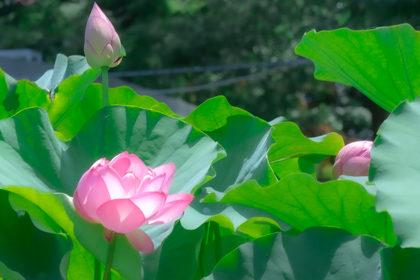 ピンク色のハスの花と緑色の大きなハスの葉