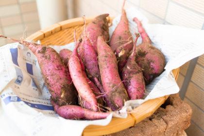 ベランダで育てた袋栽培のサツマイモを収穫した様子