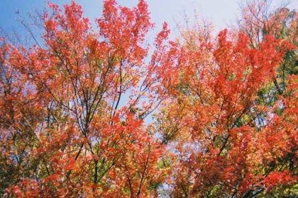 秋の青空を背景に鮮やかに紅葉する木々