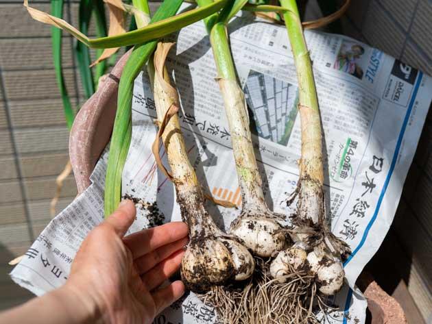 にんにく3株の収穫