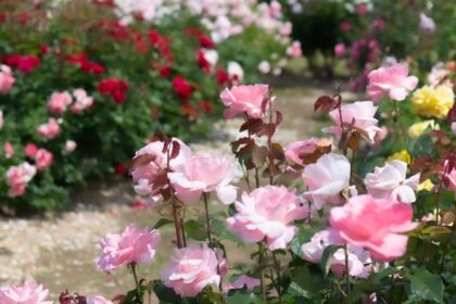 咲き乱れるバラの花々