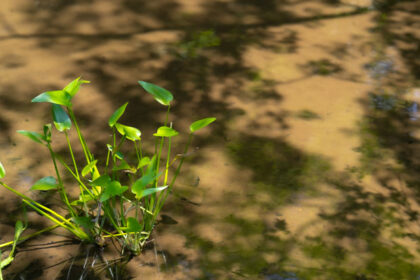 箱根湿生花園の池