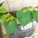 袋に植え付けたサツマイモの苗