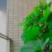 ベランダで袋栽培するさつまいもが夏空の下でグングン育っているようす